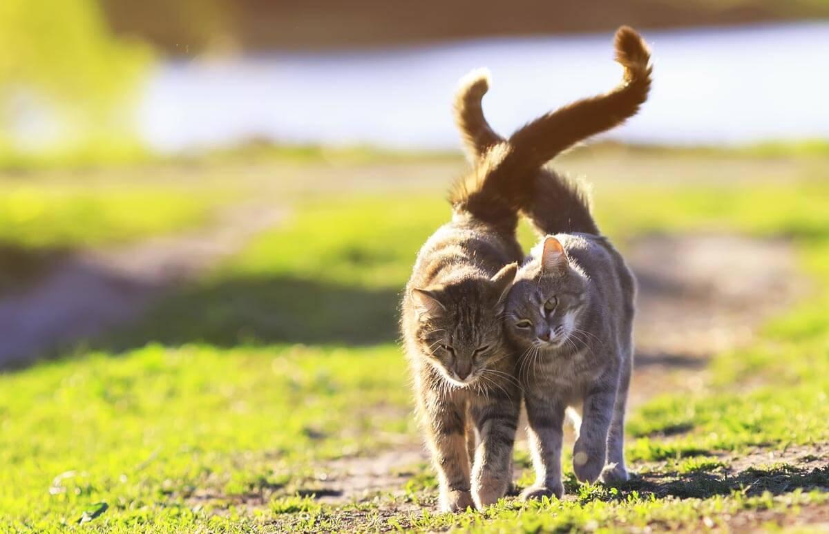 دم گربه